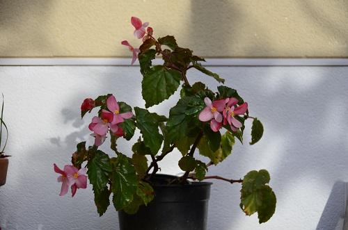 Avril, fleurs de bégonia _dsc7011