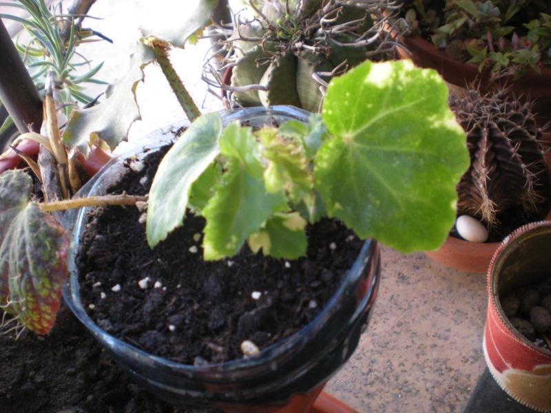 Bégonia Ricinifolia tâcheté? Dscn2510