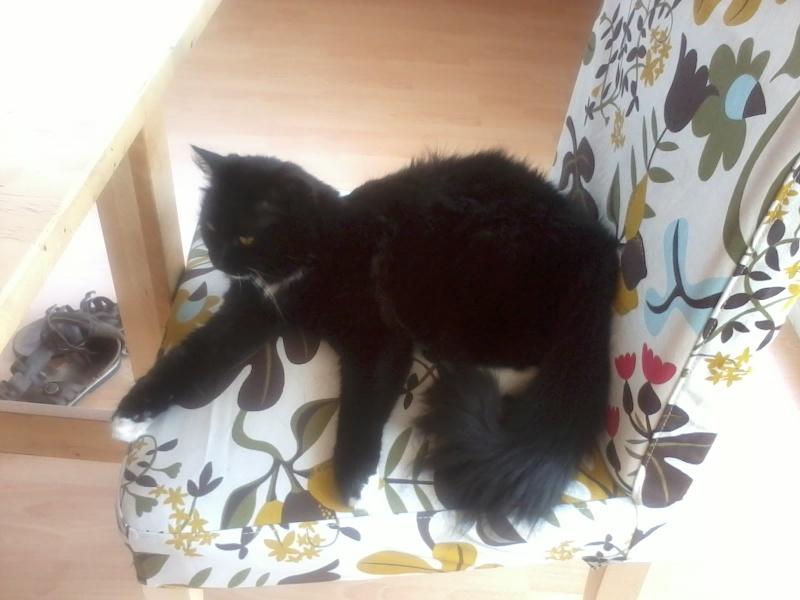 GRATOUILLE, chatte poil mi-long noire et blanche d'un an.  - Page 1 2013-014