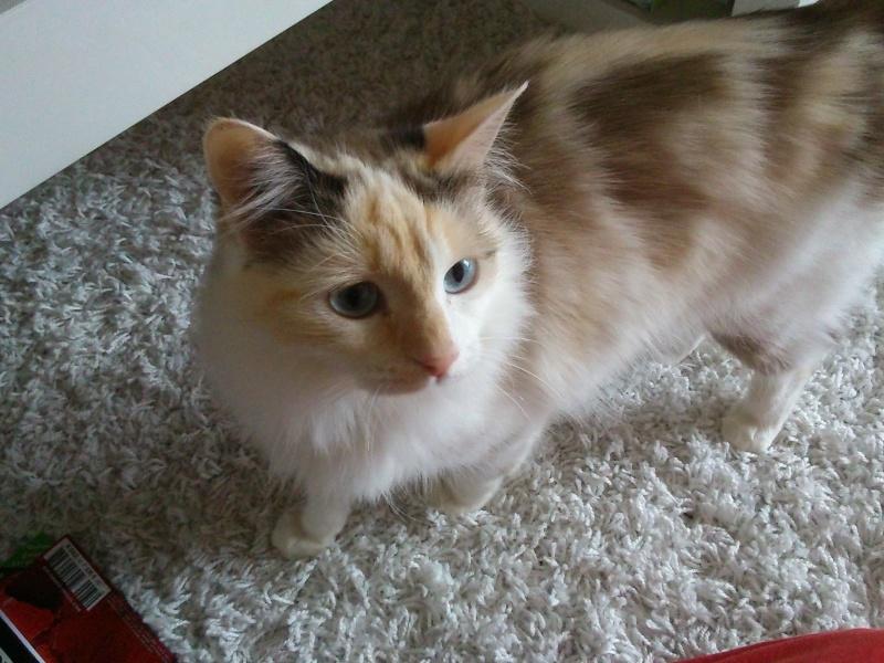 GRATOUILLE, chatte poil mi-long noire et blanche d'un an.  - Page 1 Dsc_0010