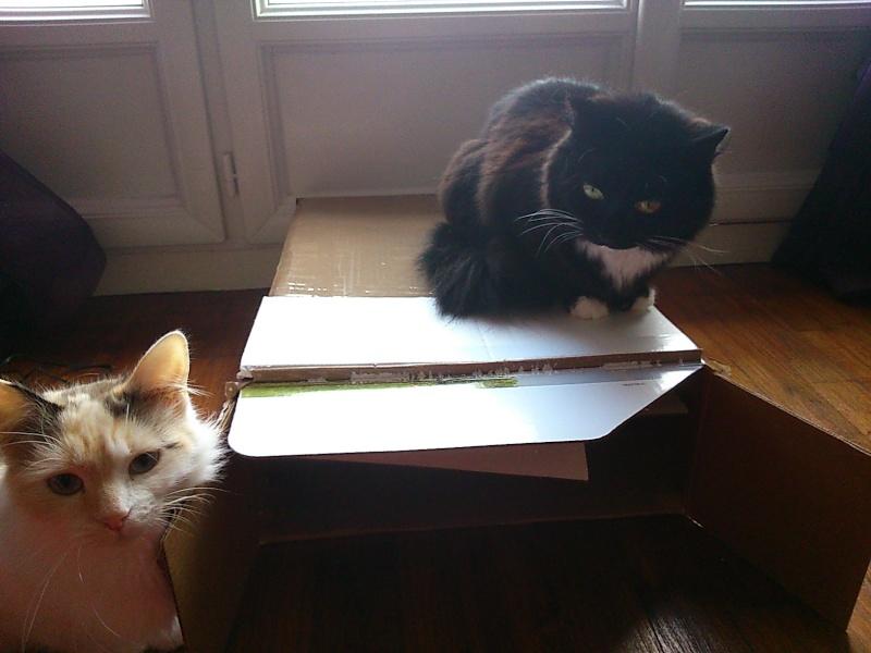 GRATOUILLE, chatte poil mi-long noire et blanche d'un an.  - Page 1 Dsc_0012