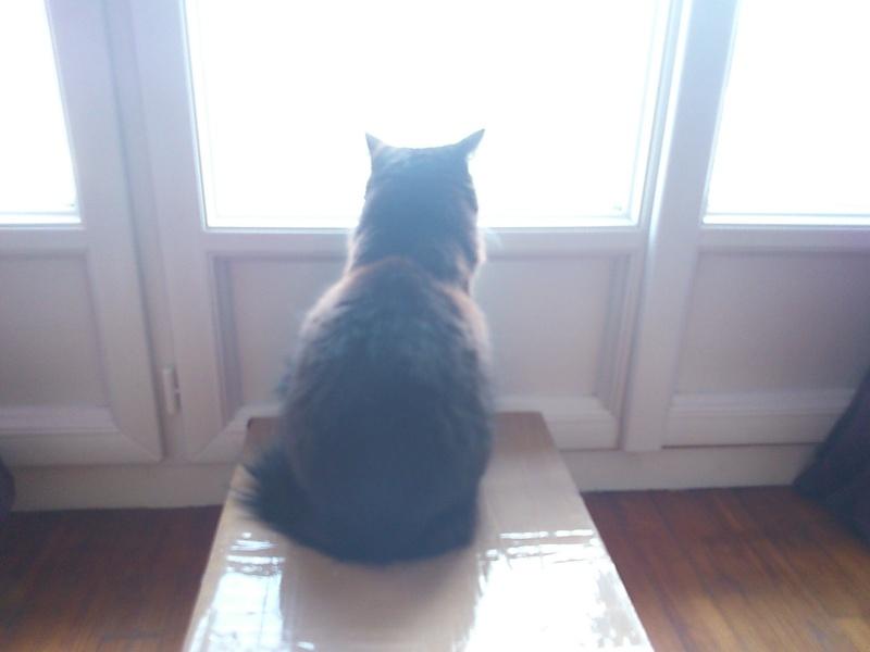 GRATOUILLE, chatte poil mi-long noire et blanche d'un an.  - Page 1 Dsc_0013
