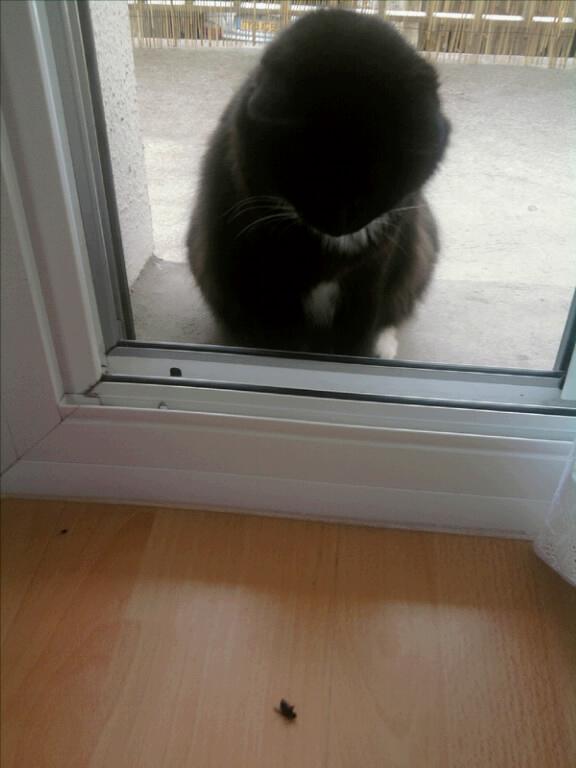 GRATOUILLE, chatte poil mi-long noire et blanche d'un an.  - Page 1 Mms_2011