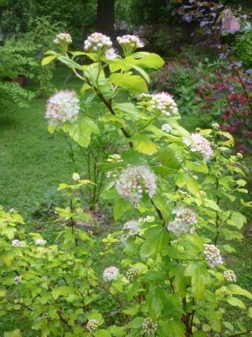 Physocarpus Dart's Gold !!! Dartsg10