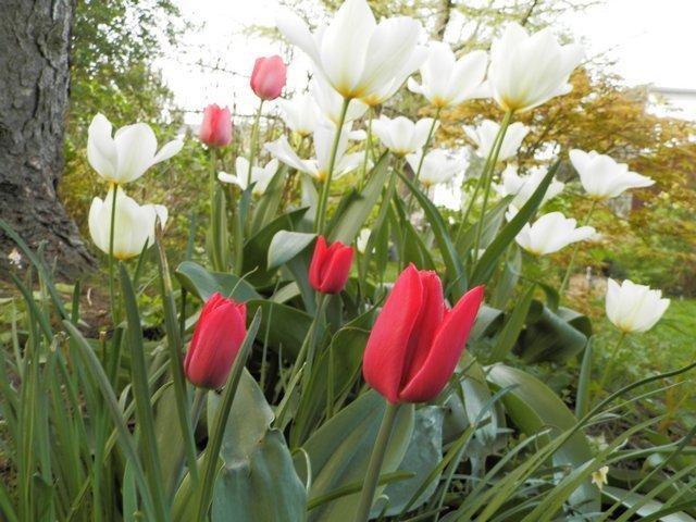 tulipes 2017 Fanfan10