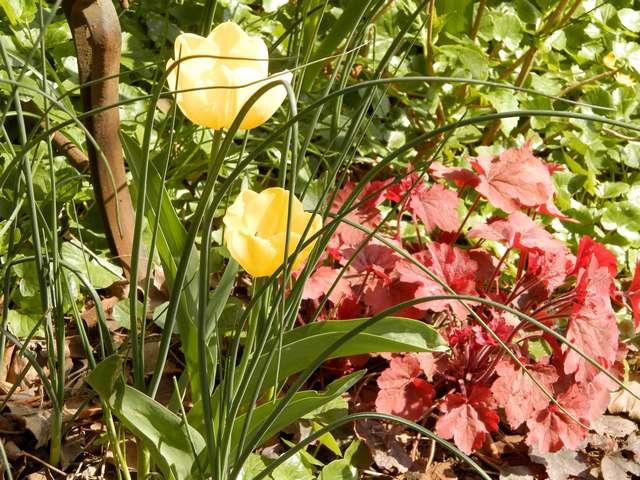 tulipes 2017 Fanfan11