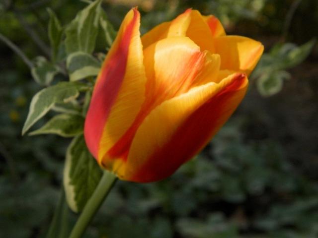 tulipes 2017 Fanfan13