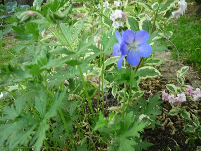 geranium vivace - Page 2 Johnso10