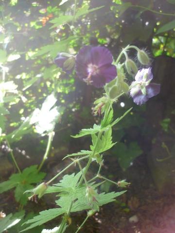 geranium vivace - Page 2 Phaeum10