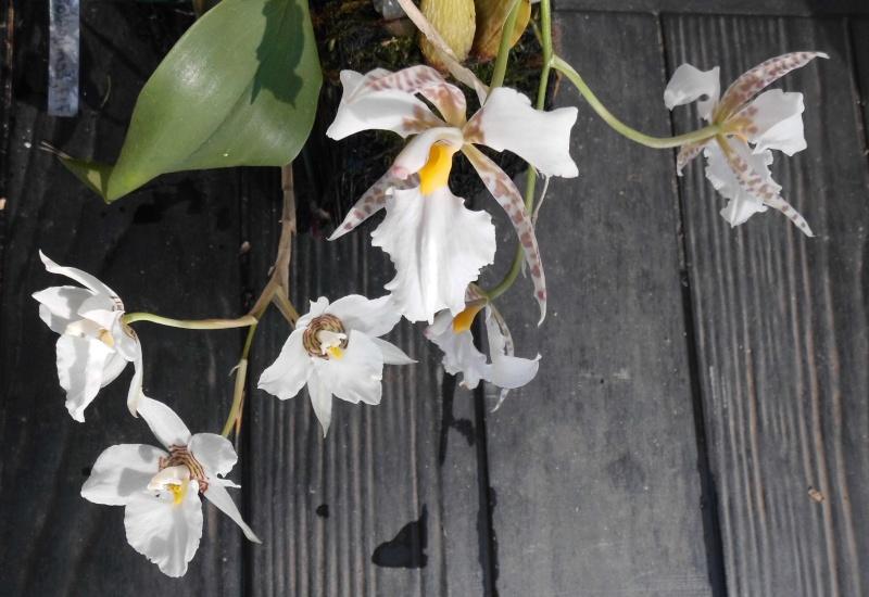 Lemboglossum rossii Dsci0015