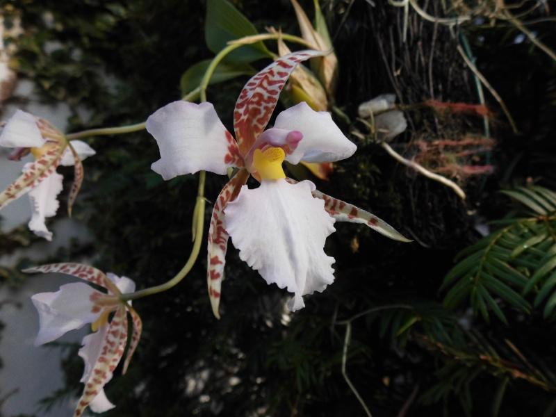 Lemboglossum rossii Lembog10