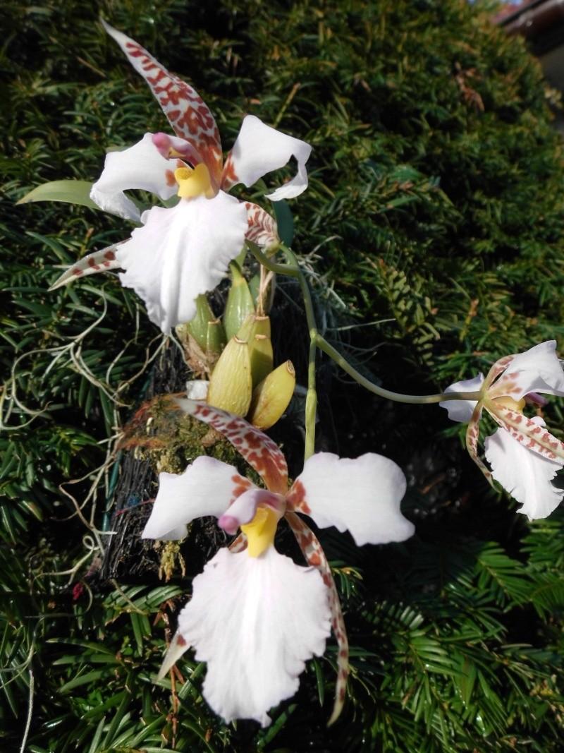 Lemboglossum rossii Lembog12