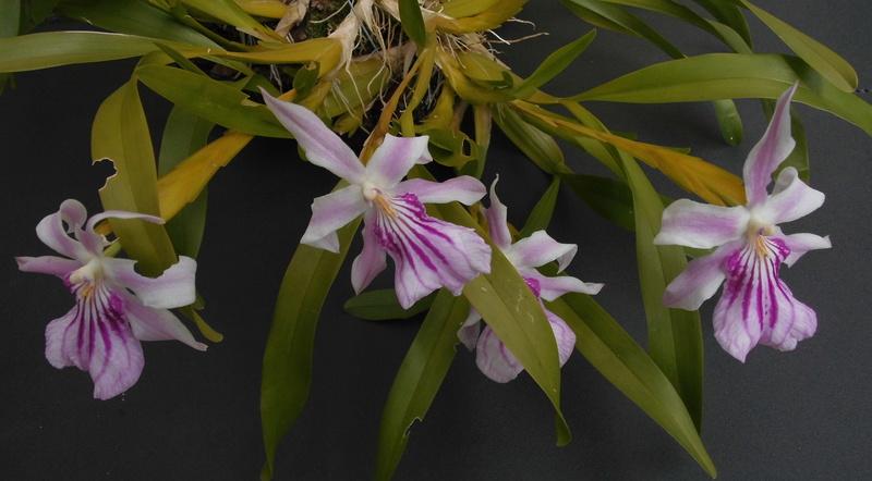 Miltonia spectabilis  Milton10