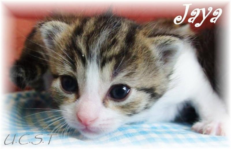 JAYA, adorable chatonne née le 18/03/2014 Jaya10