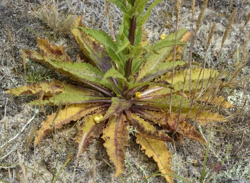 ID Brassicaceae _dse3313