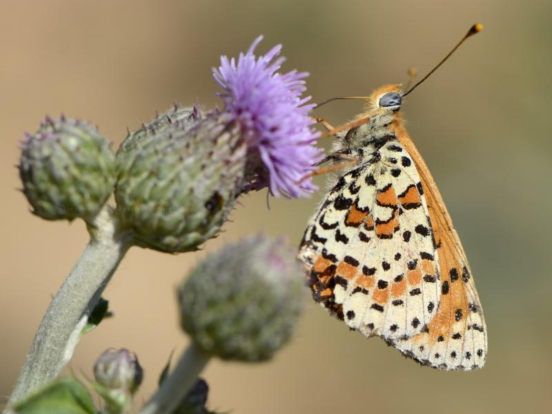 ID Nymphalidae _dsf0510