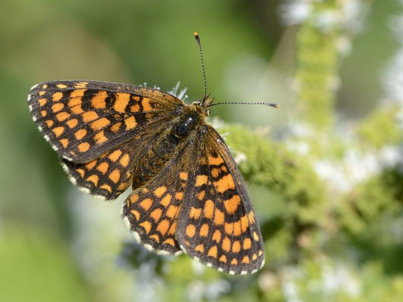 ID Nymphalidae _dsf0511