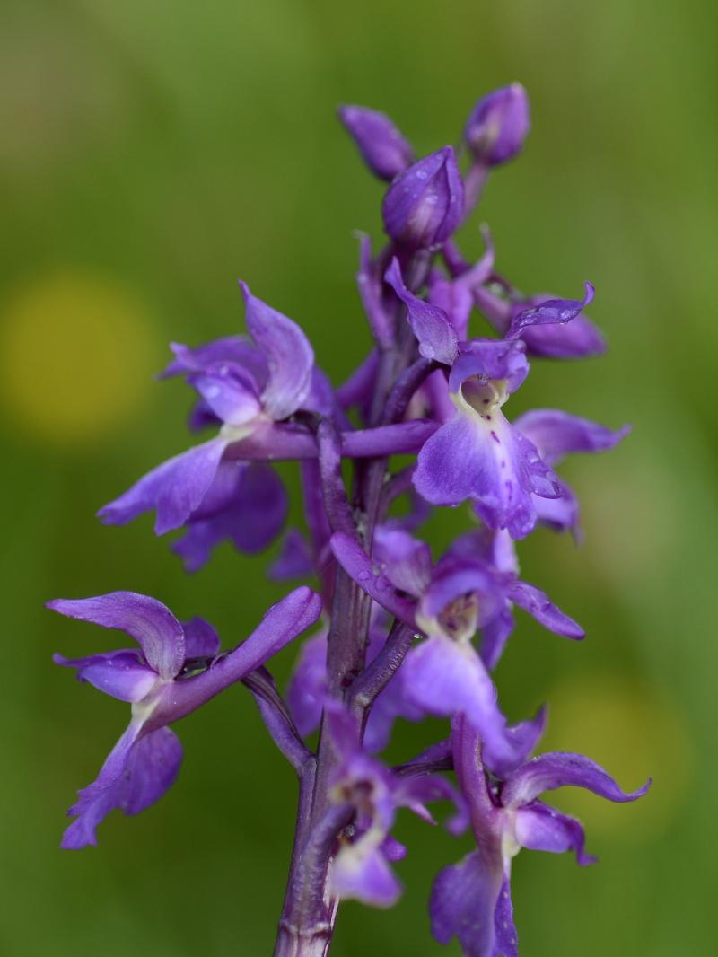 Orchidée  _dsg3710