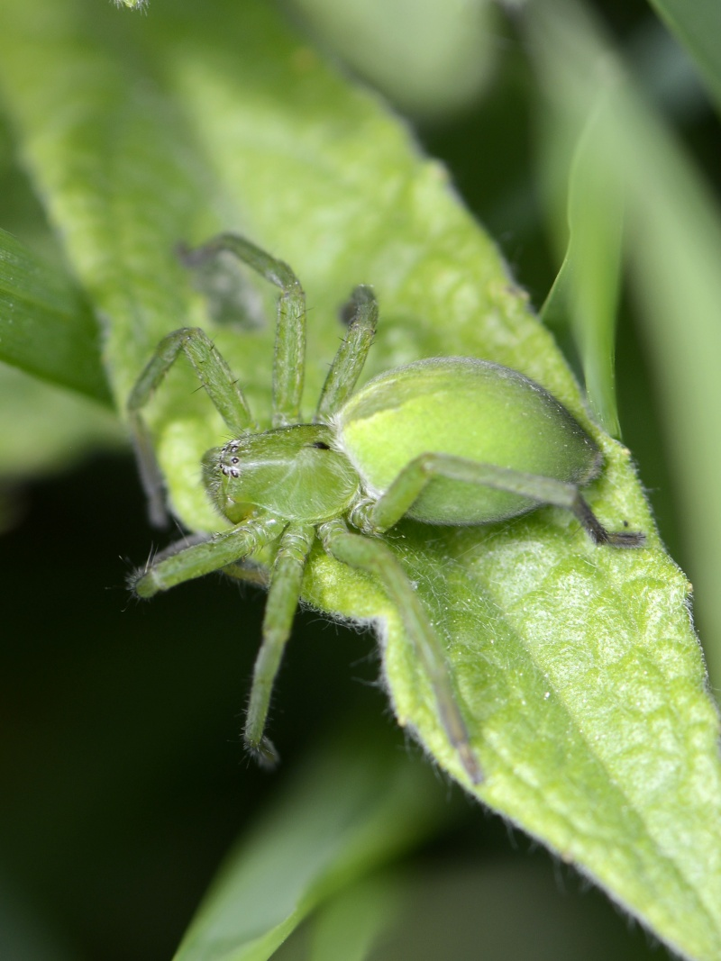 Vert fluo à Identifier - Lycosidae? _dsg4710