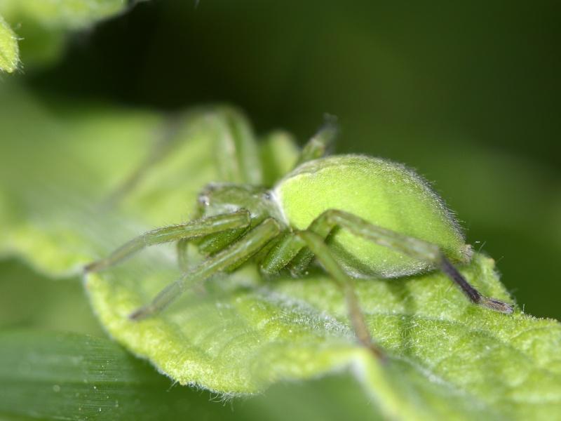 Vert fluo à Identifier - Lycosidae? _dsg4711