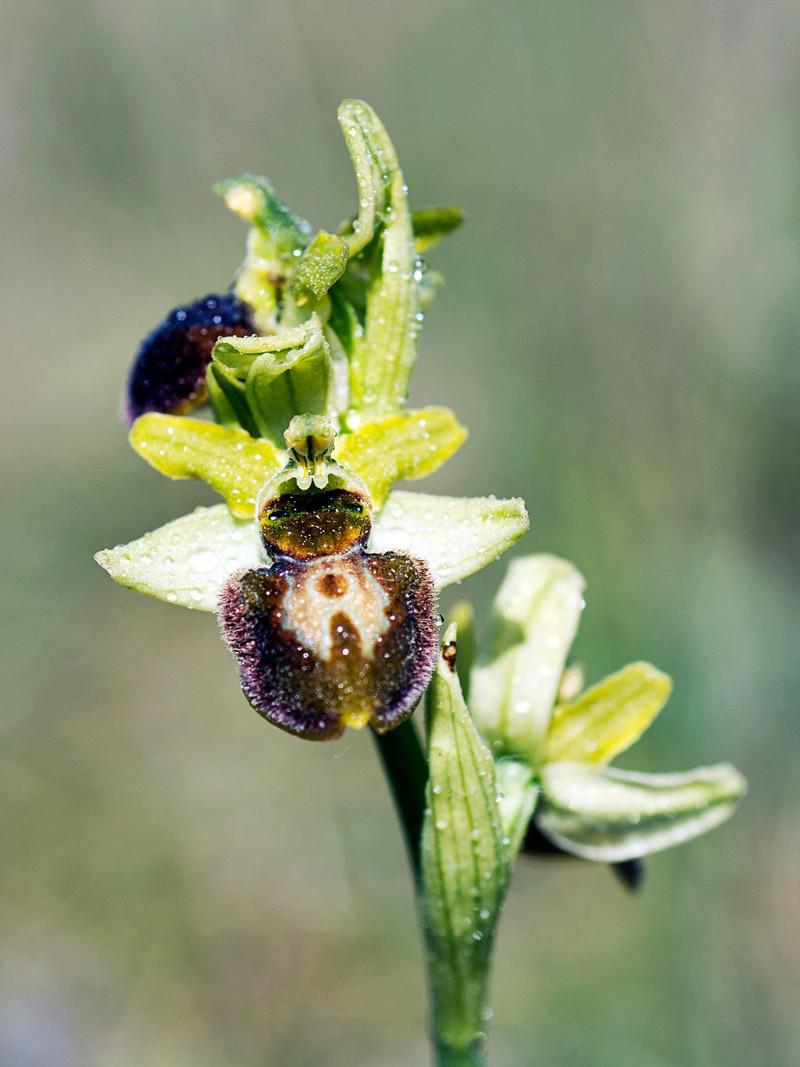 ID Ophrys fuciflora? [Ophris sphegodes = aranifera] et O passionis  _dsk4810