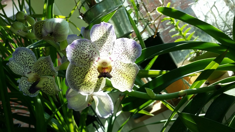 vanda moonlight blue - Page 2 20170210