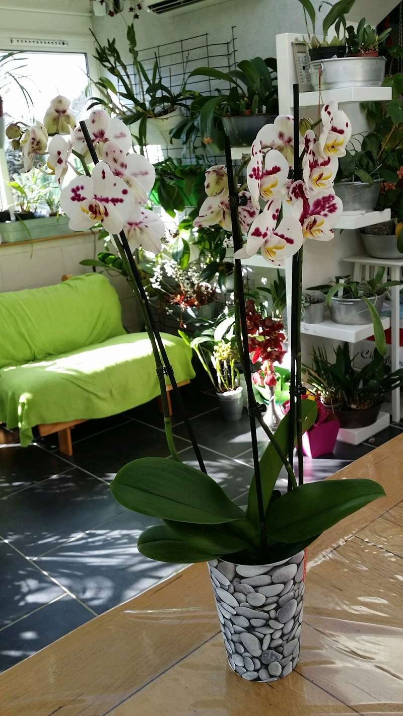 nouveau phalaenopsis hybride 20170214