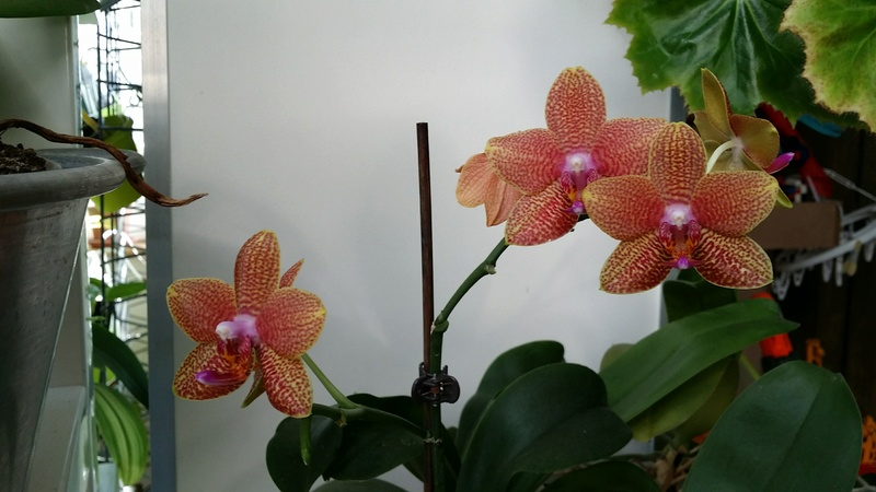 phalaenopsis cuivre bouddha - Page 2 20170222