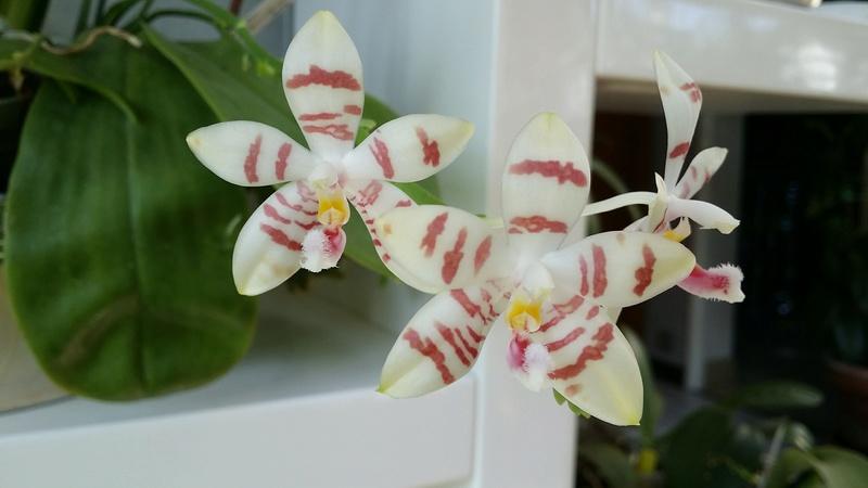 phalaenopsis amboinensis white x tetraspis  - Page 2 20170223