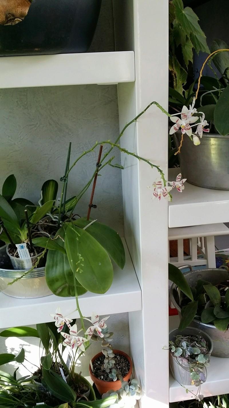phalaenopsis amboinensis white x tetraspis  - Page 2 20170224