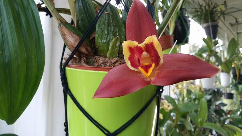 Lycaste macrophylla x Angulocaste red jewel 20170229