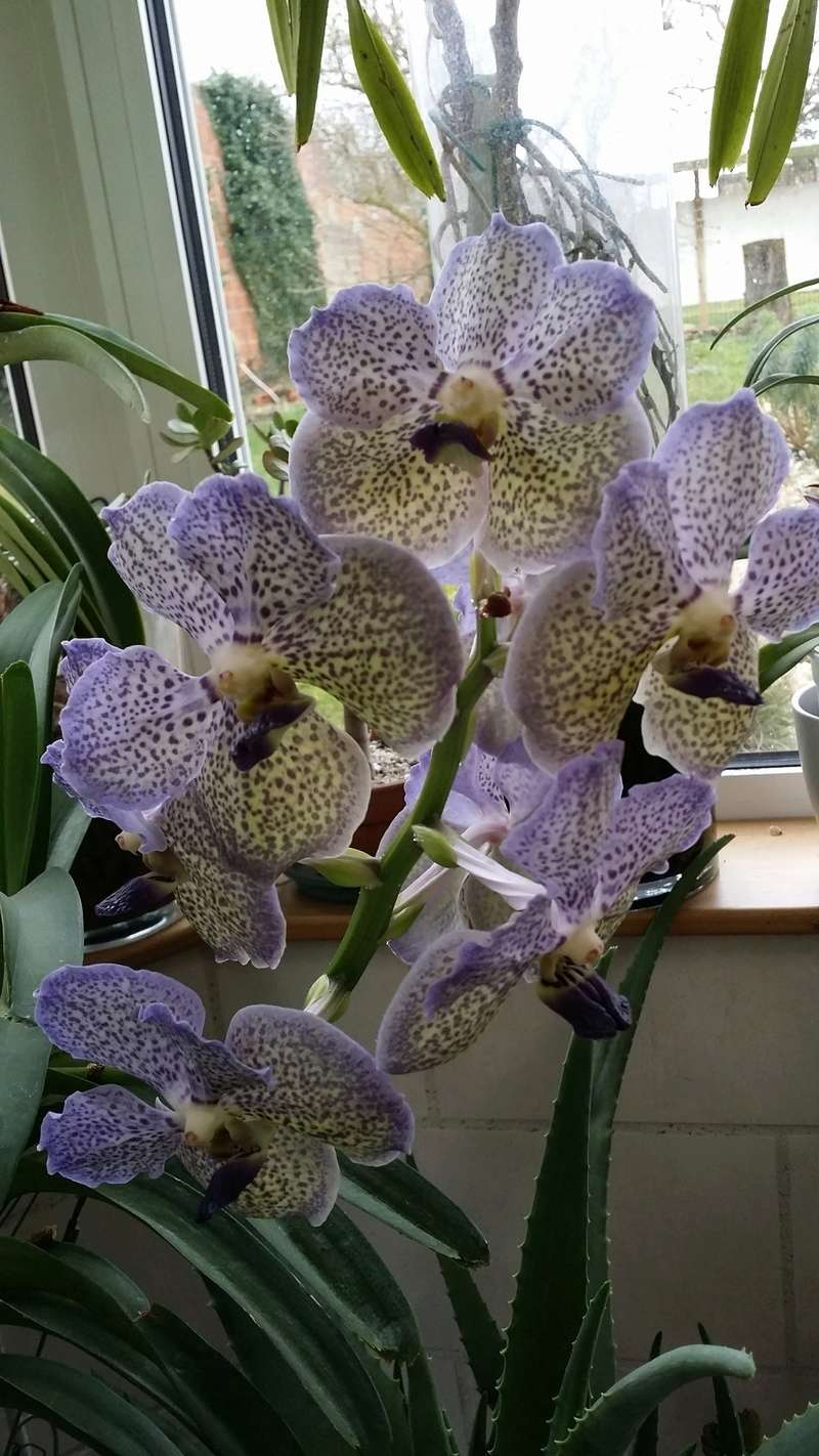 vanda moonlight blue - Page 2 20170310