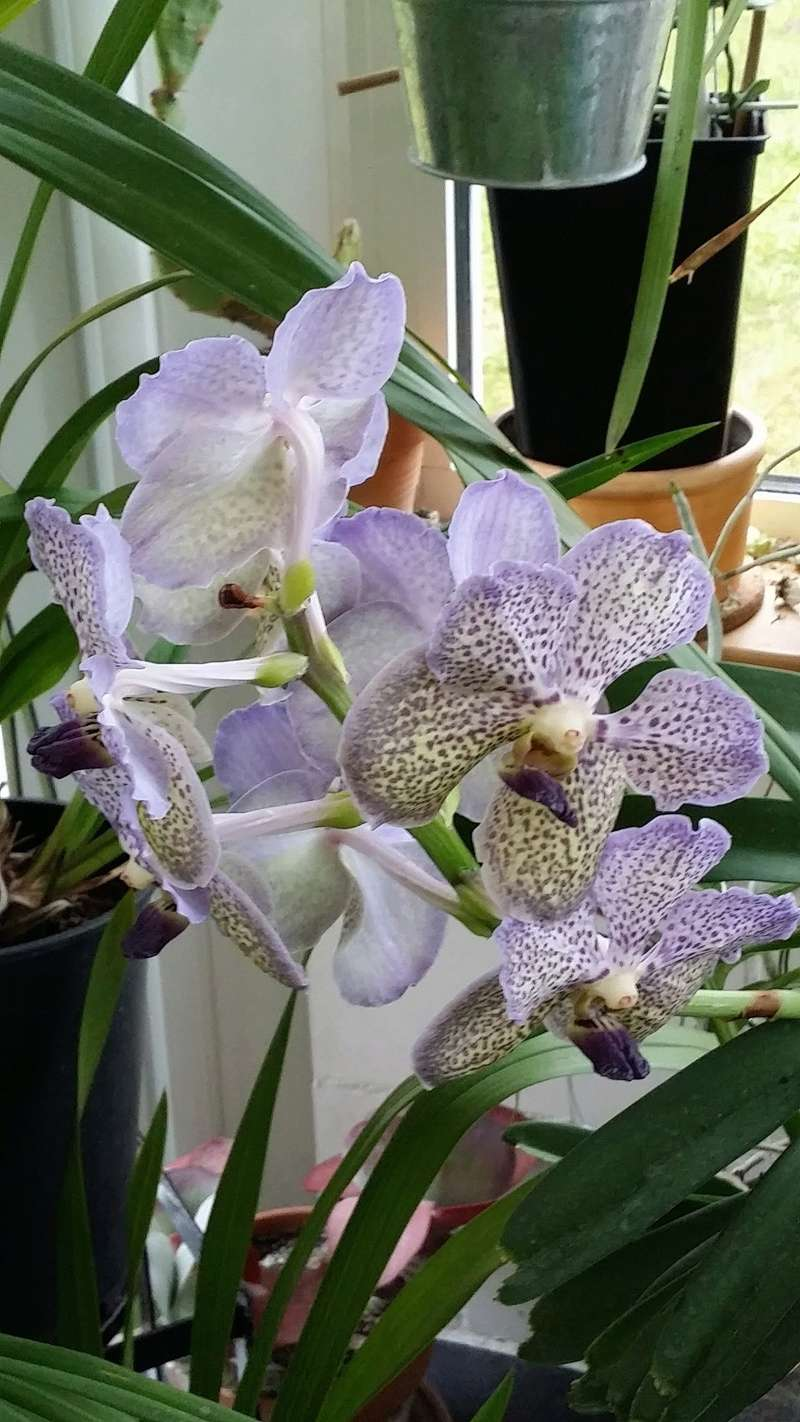 vanda moonlight blue - Page 2 20170312