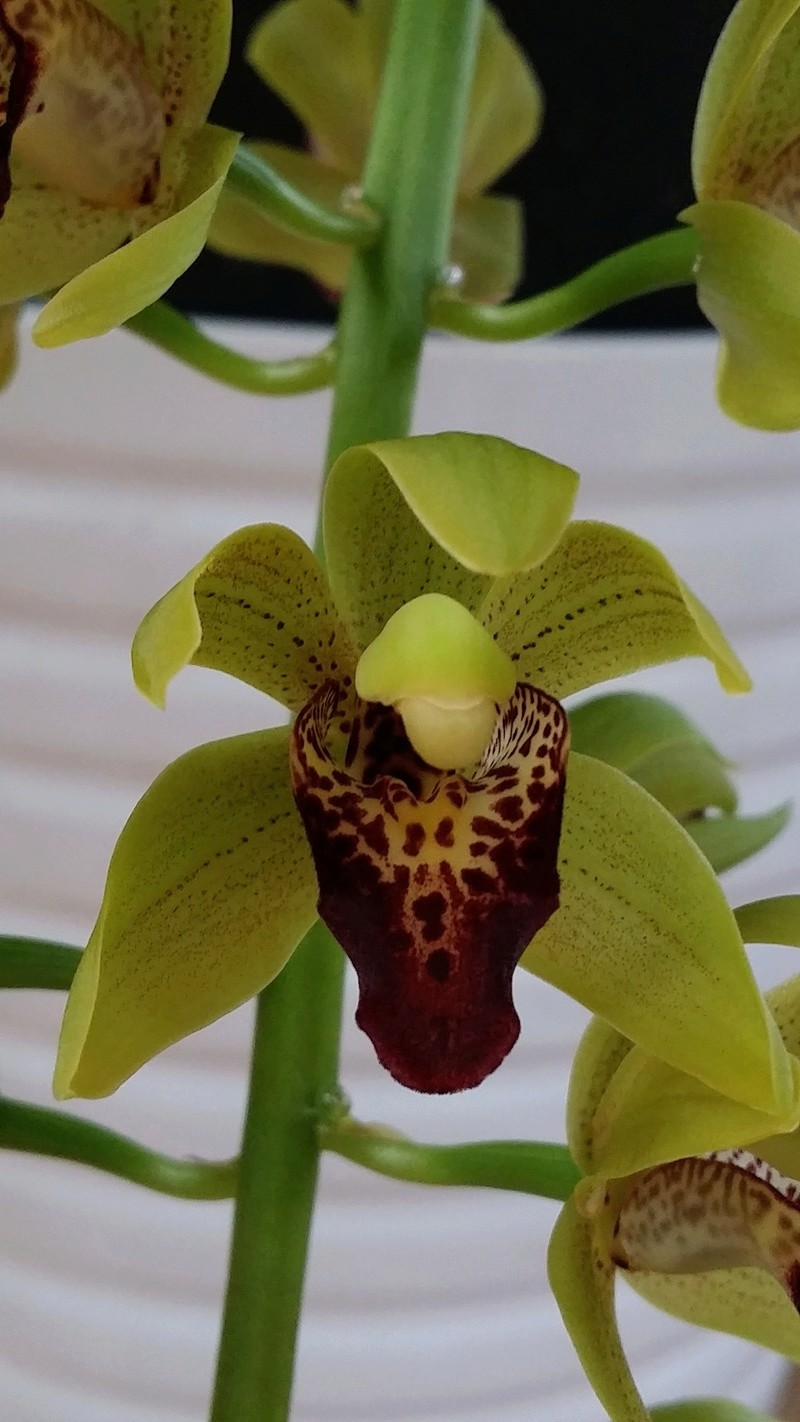 cymbidium  cliff hutchings et cymbidium devonianum x cliff hutchings  20170315