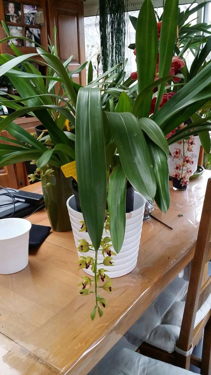 cymbidium  cliff hutchings et cymbidium devonianum x cliff hutchings  20170318