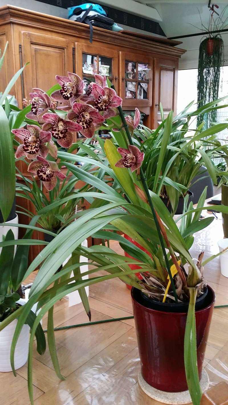 cymbidium vogel magic 20170330