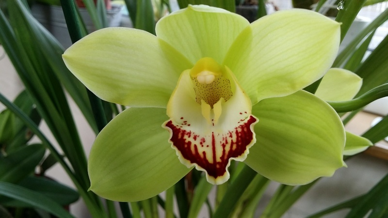 cymbidium avolution  20170337
