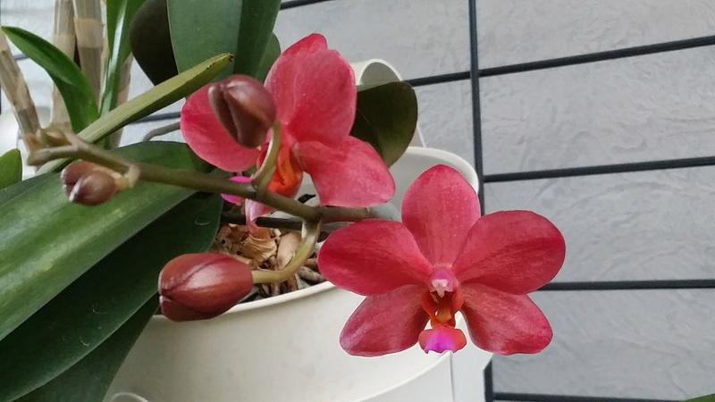 floraison de plusieurs phalaenopsis 20170339