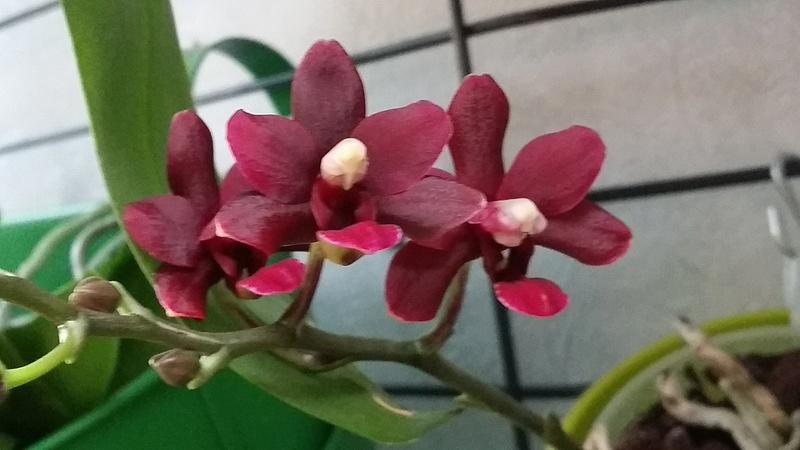 floraison de plusieurs phalaenopsis 20170341