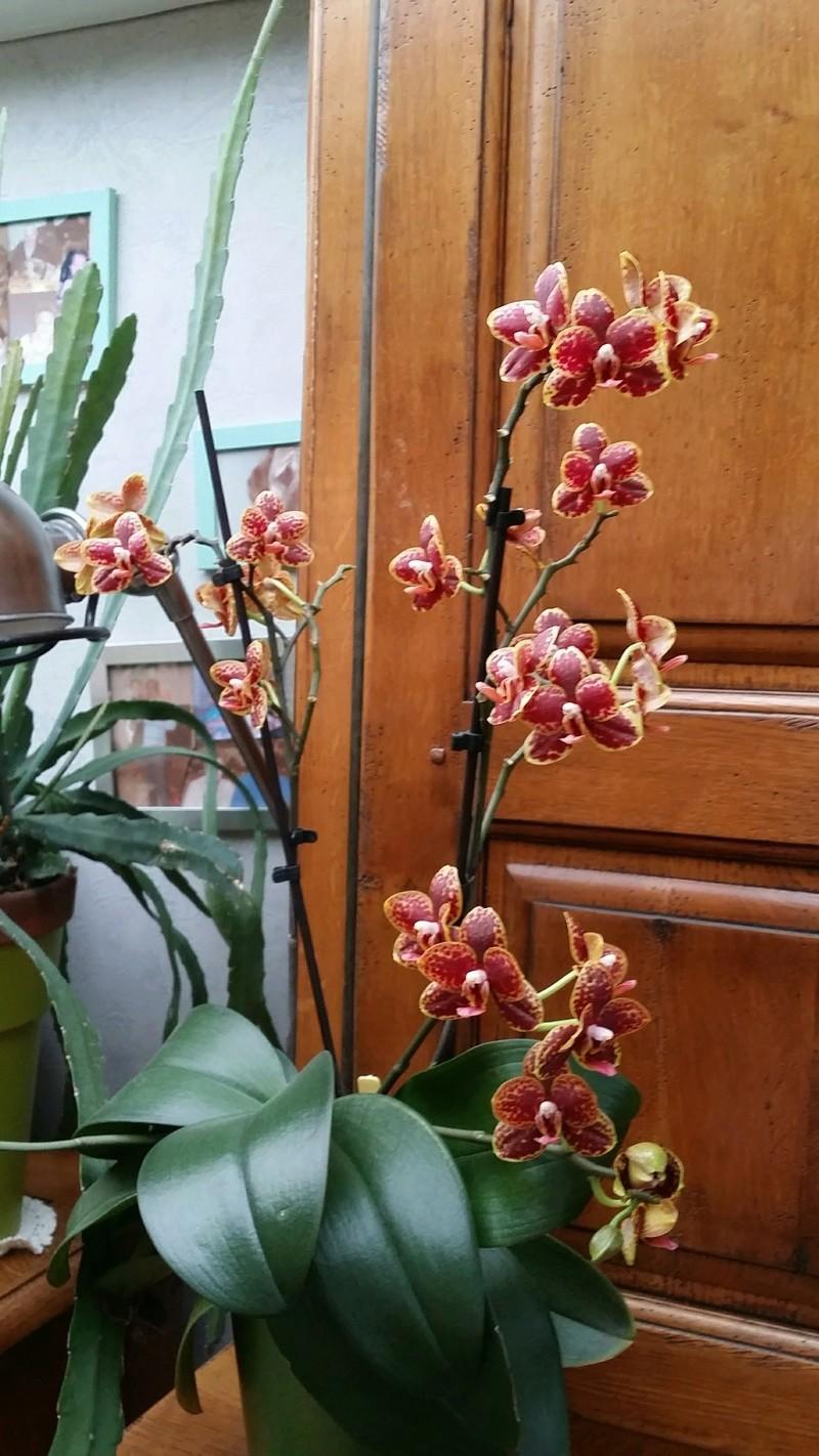 floraison de plusieurs phalaenopsis 20170345