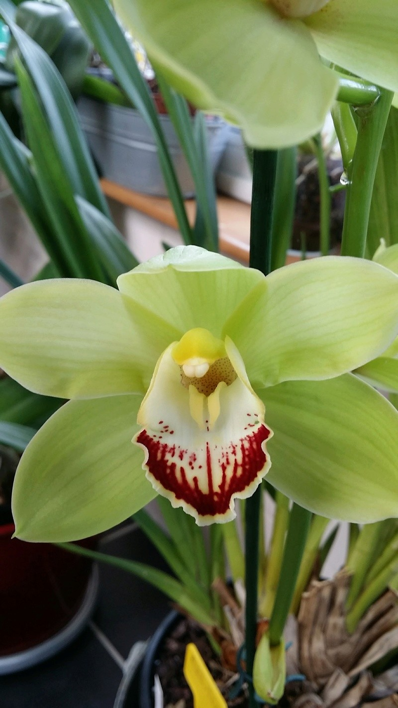 cymbidium avolution  20170367