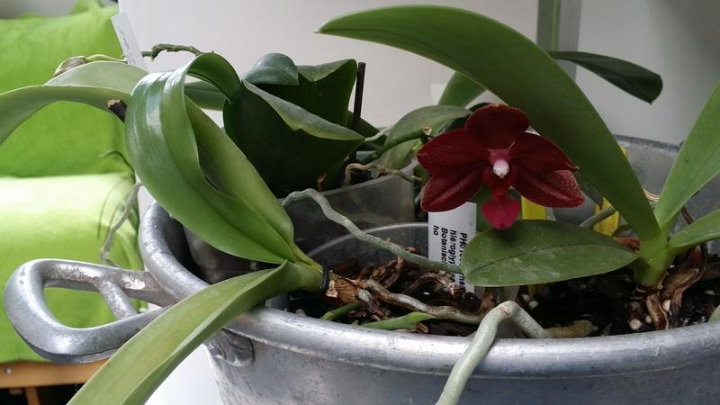 phalaenopsis miva midi libre  20170370