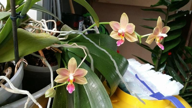 phalaenopsis orianne 20170371