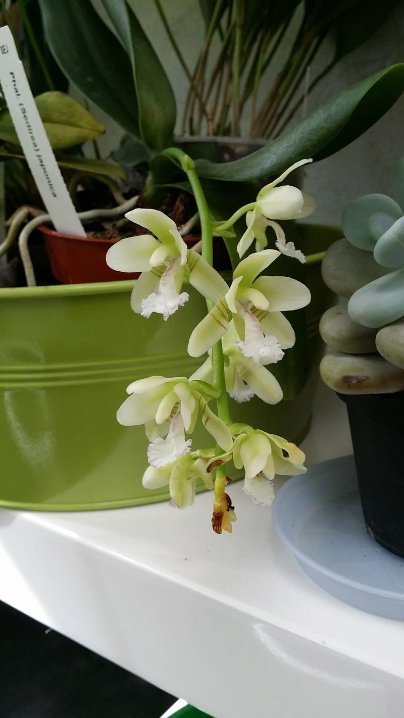 phalaenopsis sedirea japonica 20170373