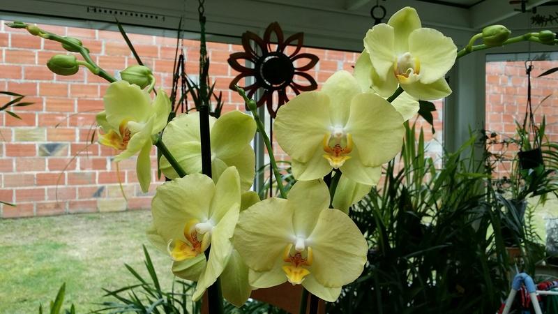 phalaenopsis hybride jaune 20170389