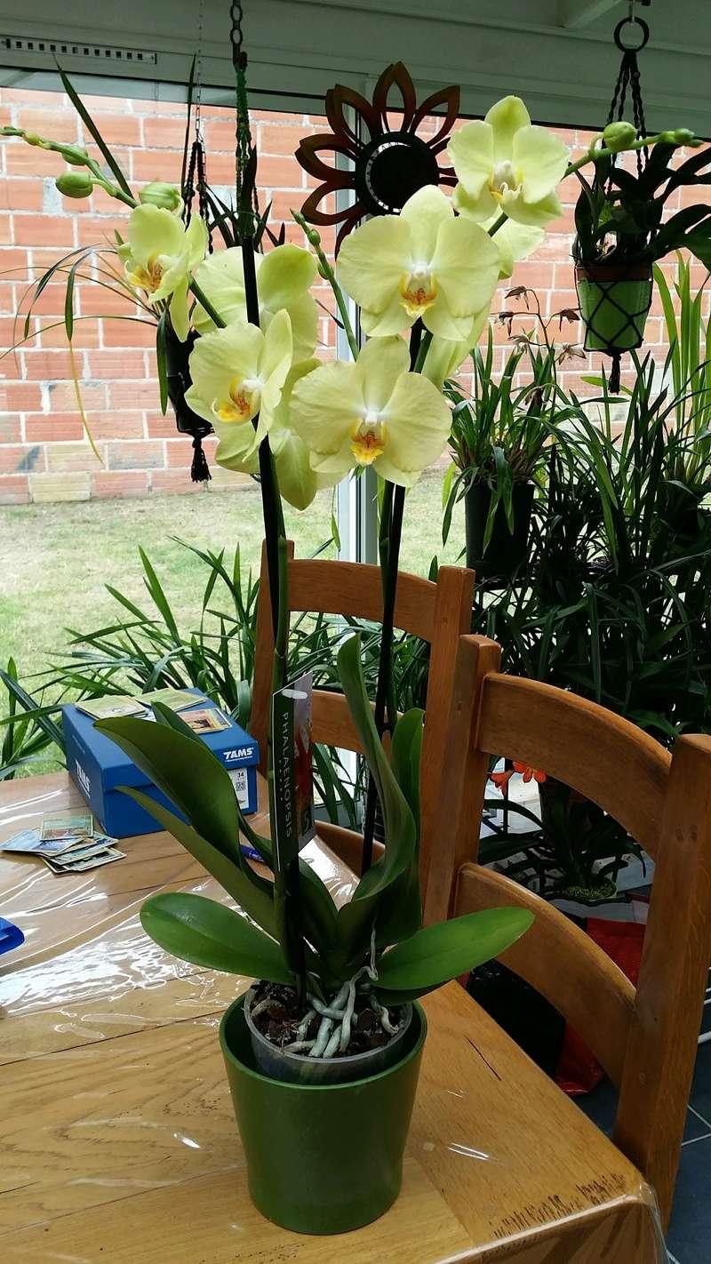 phalaenopsis hybride jaune 20170390
