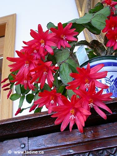 Schlumbergera blanc et rouge Cactus10
