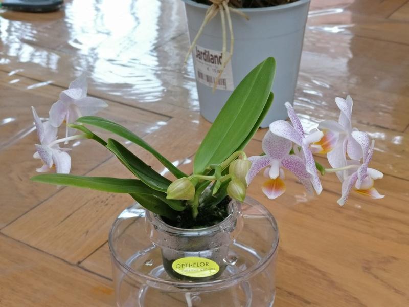 nouveaux phalaenopsis Img_2018