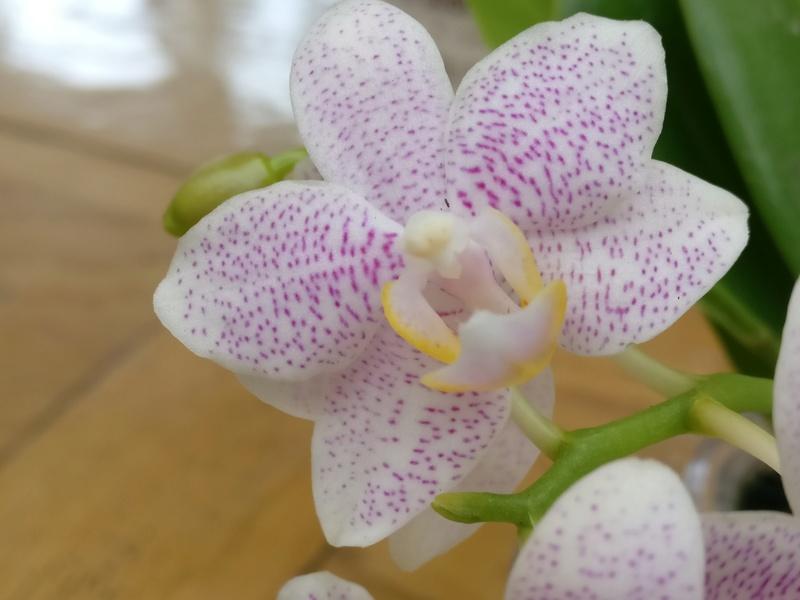 nouveaux phalaenopsis Img_2019