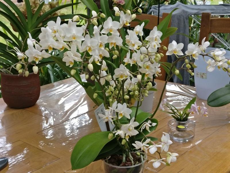 nouveaux phalaenopsis Img_2020